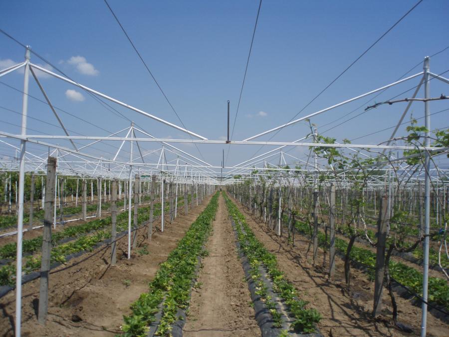 Виноград в теплице технология выращивания 636