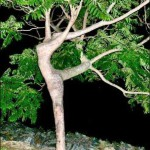 дерево балерина