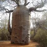 Baobab_чайник